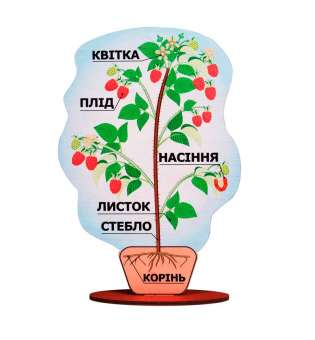 Демонстраційна модель будови рослини на підставці (малина). Товщина деревини 6 мм